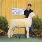 Champion Dorset Ram