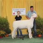 Junior Show Champion Dorset Ewe