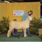 Champion White Romney Ewe