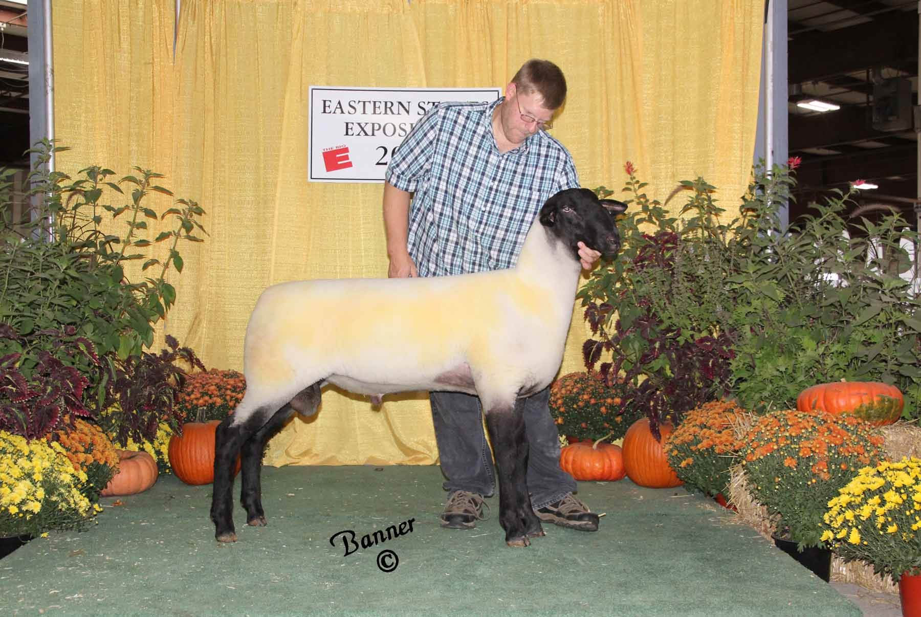2015 Suffolk Sheep Show Pictures