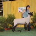 Champion Slick Sheared Suffolk Ewe