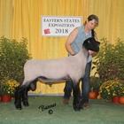 Champion Slick Sheared Suffolk Ram
