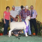 Champion Cheviot Ewe