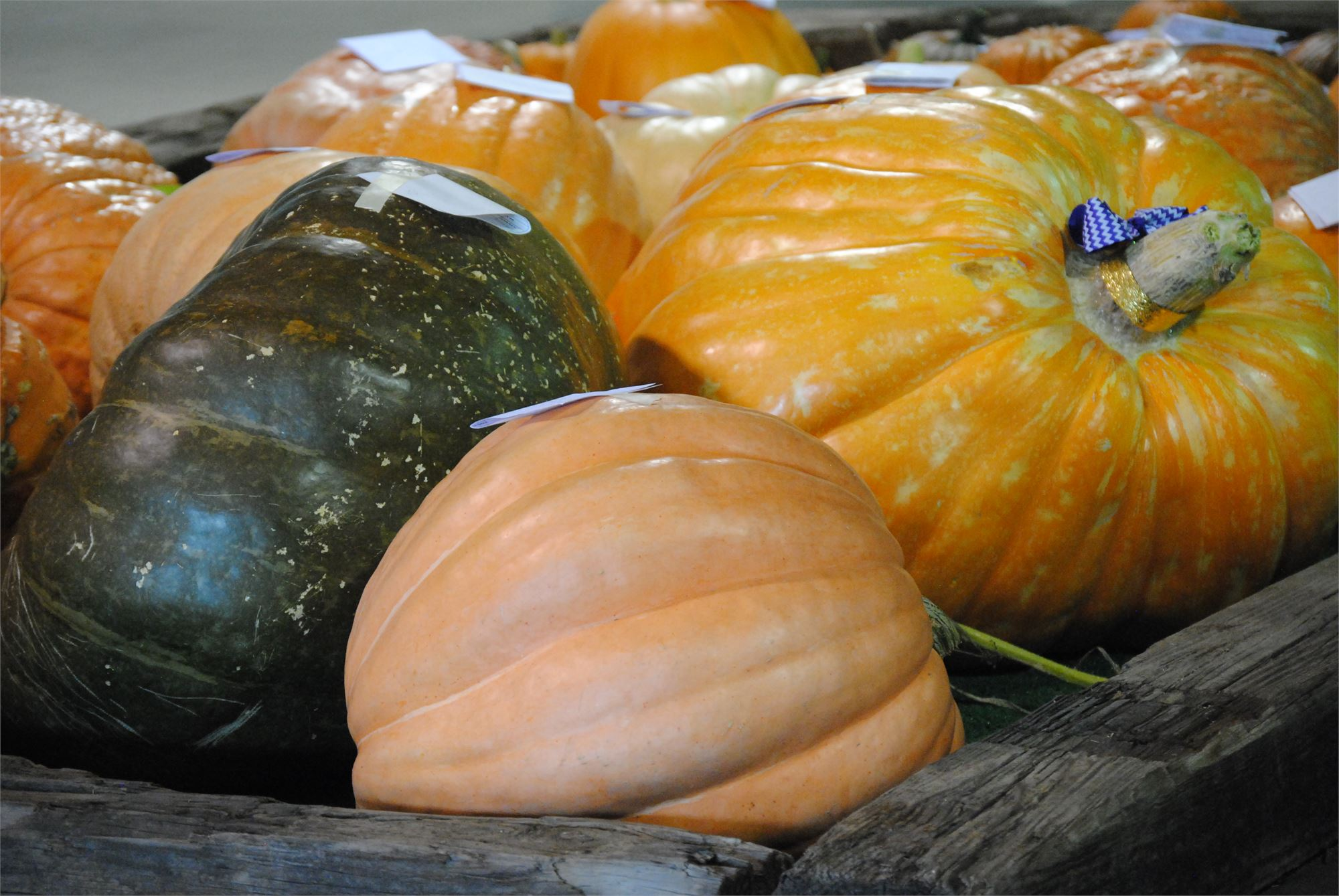 big gourds, pumpkins, orange, green