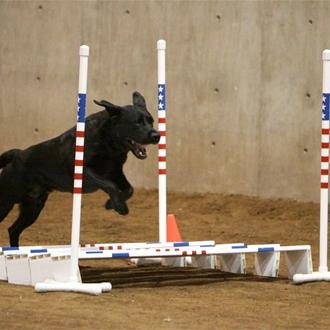 black lab, jumping