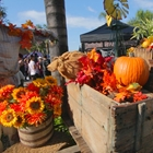 Flowers and pumpkings at Old Tyme Fall Festival in Buena Park, CA