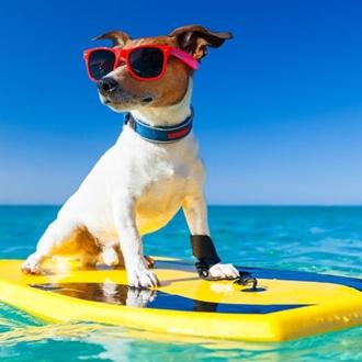 Dog on surf board at the Surf City Surf Dog