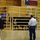 Commercial Steer Show