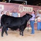 Commercial Halter Heifer Show