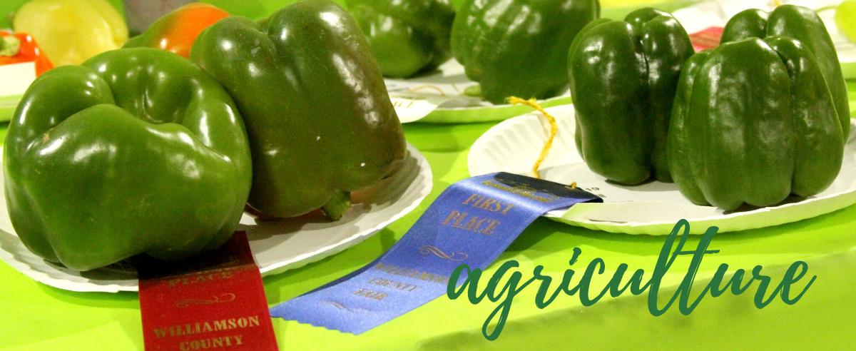 Fresh grown green bell peppers.