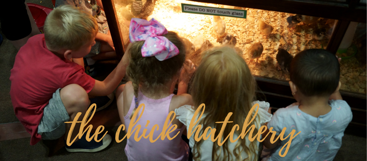 Children looking at the baby chicks that hatched during the fair
