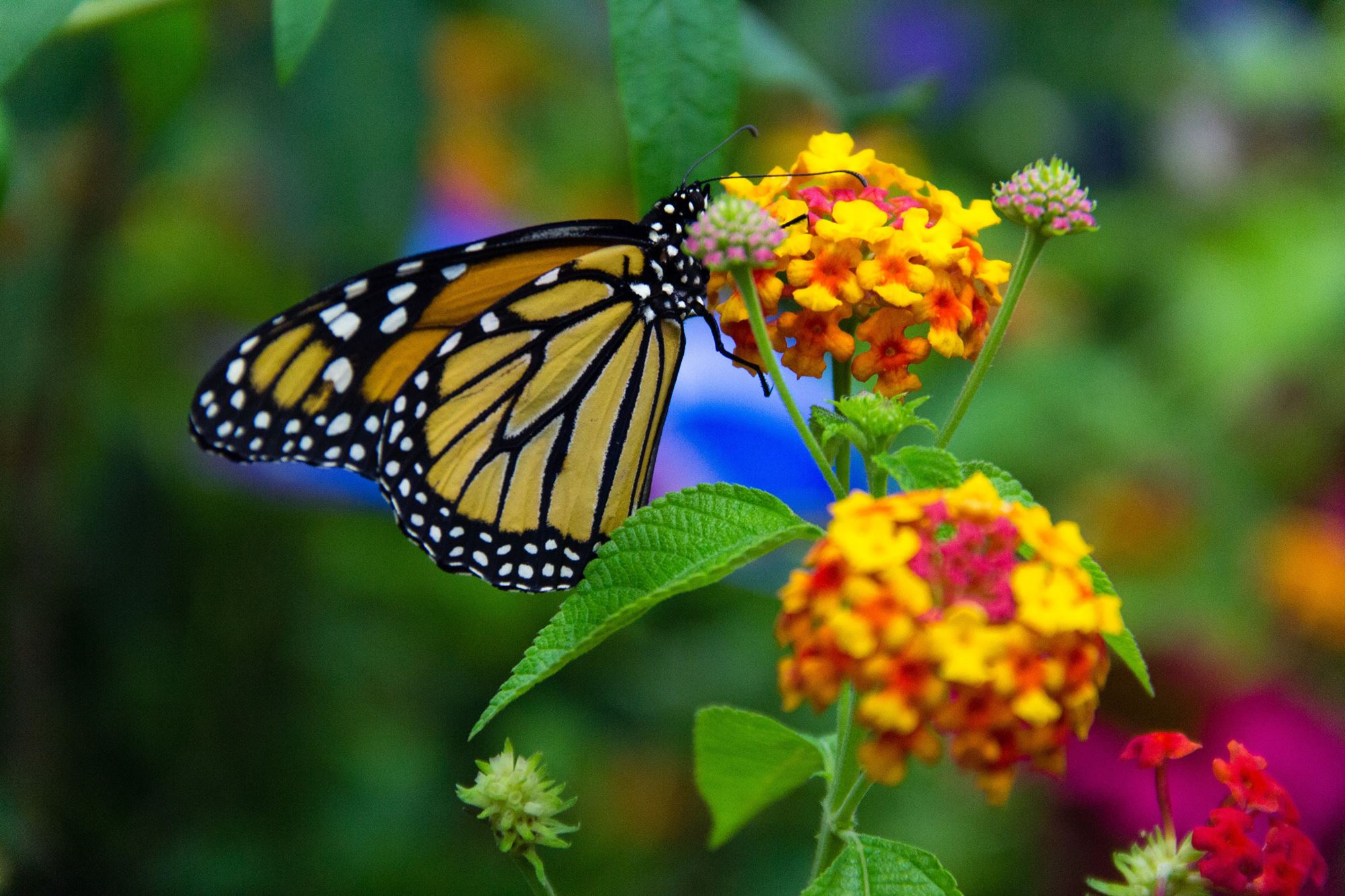 A butterfly on a multi color flower