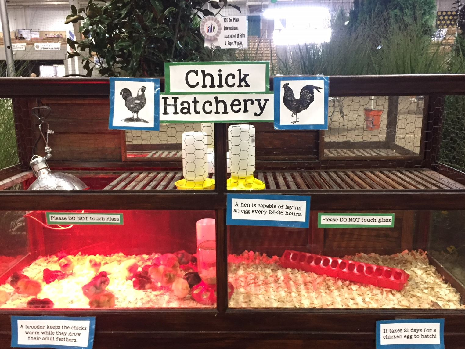 The chick hatchery display case with baby chicks inside