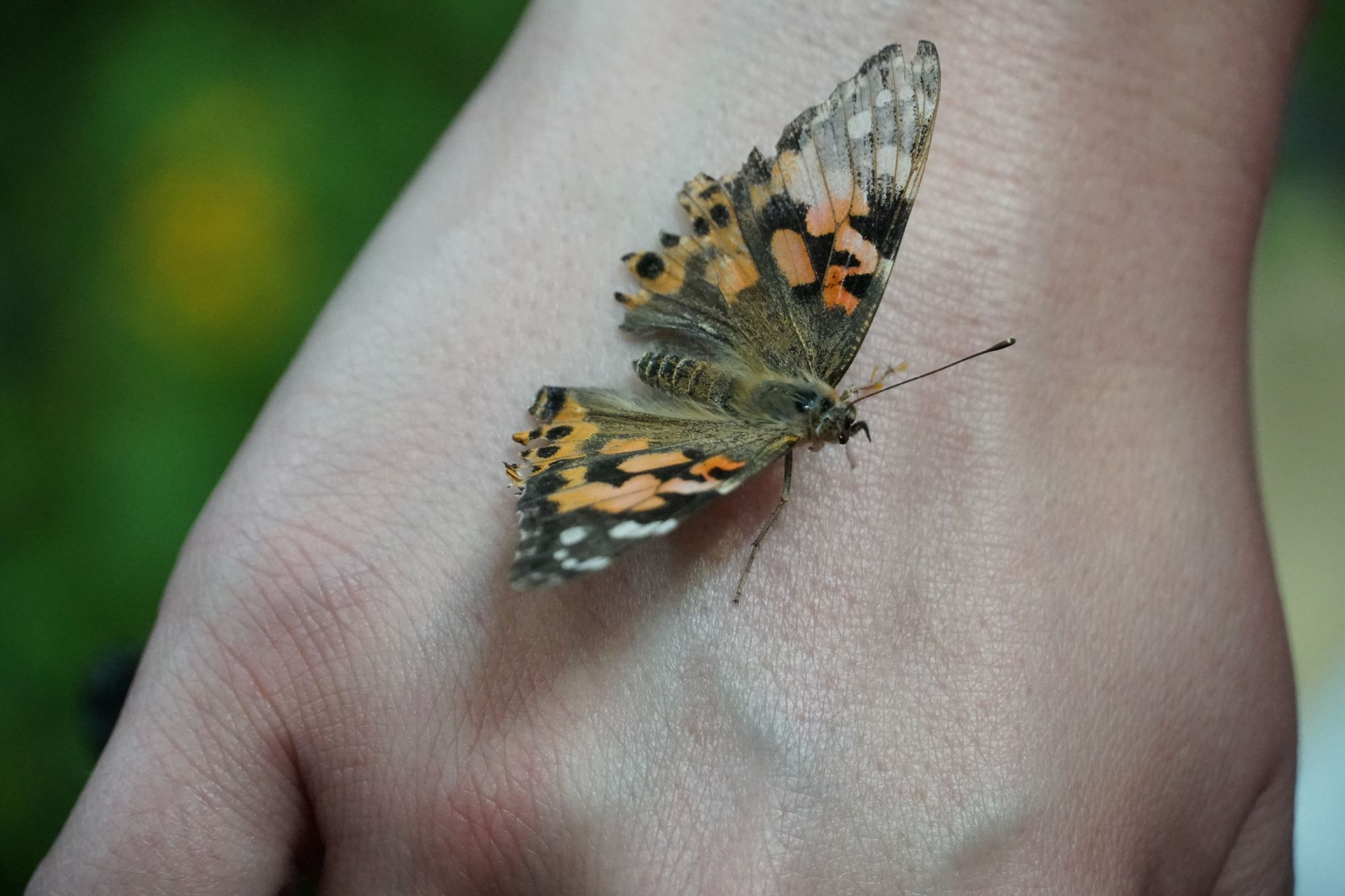 A butterfly that landed on someones hand