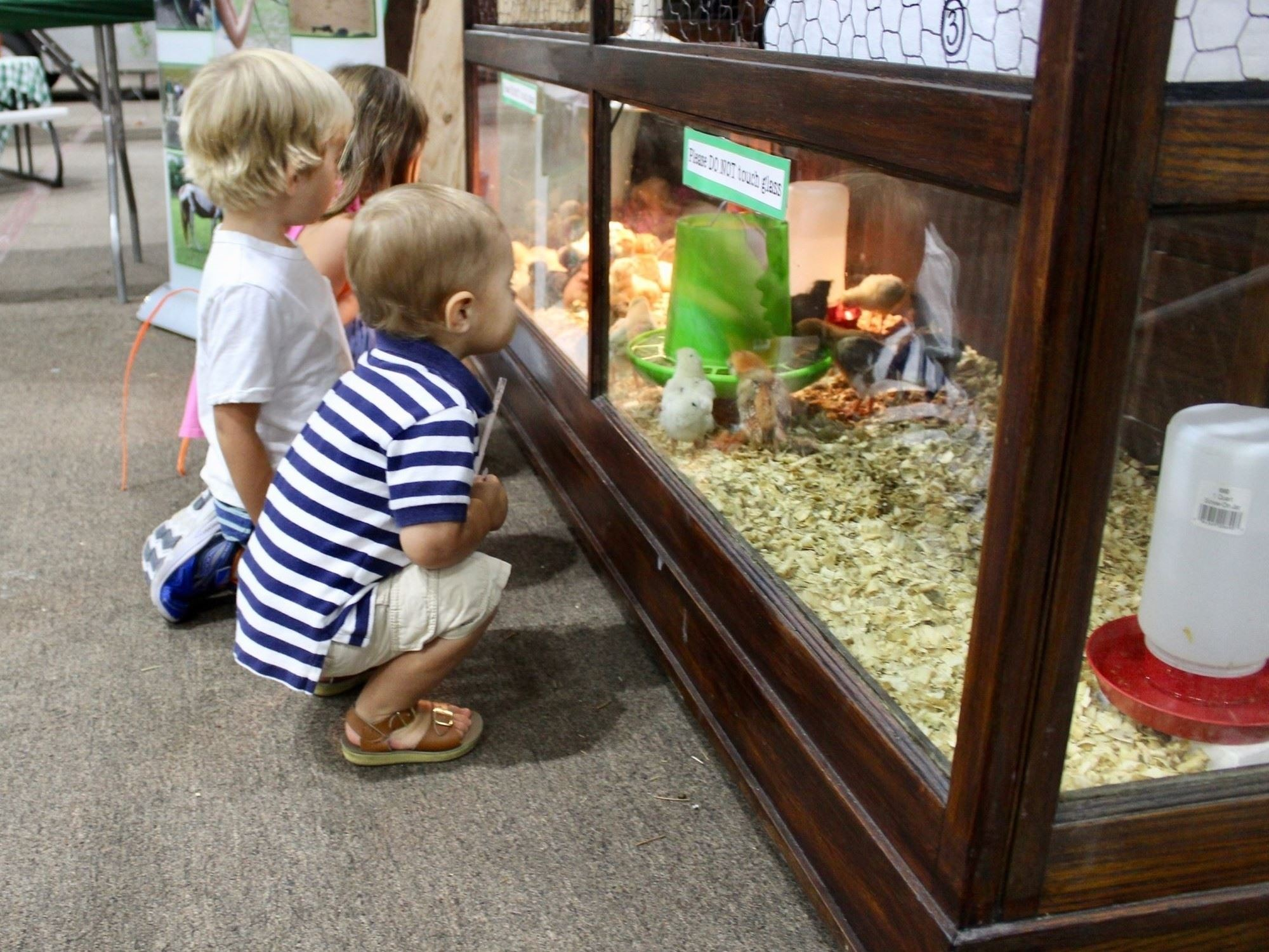 Children looking through the hatching cabinet at baby chicks