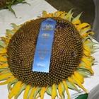 Blue ribbon sunflower
