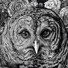 hoot owl in pen and ink