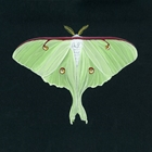 Detailed gouache painting on paper board of a luna moth