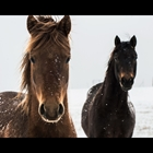 photo of two horses