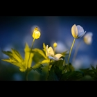 Firefly Illuminating Wood Anemone Wildflower