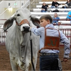 PUREBRED CATTLE SHOWS